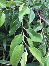 木の葉っぱですが、何の木かわかりますか?
