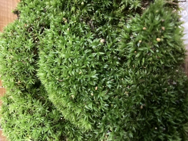 とても惹かれたのですがこの苔はなんですか。ヤフオクでみかけました。 スナゴケではありません