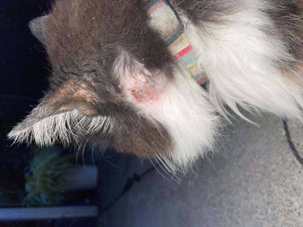 近所のねこちゃんの首回りに大きないぼいぼができており、写真のように白く腫れています。これは何かの病気でしょうか? 何かわかる方がいれば教えていただきたいです。