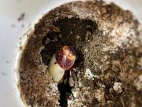 オオクワガタの新成虫です。  同世代の子が羽化して1ヶ月経ったので他のメス1匹も掘り出したら写真の様です。 これこのまま放置で大丈夫ですか?  まぁ頭すら上がってません。