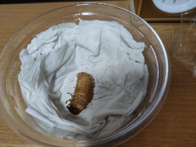 ノコギリクワガタの幼虫の蛹室を壊してしまい、プリンカップで管理していた内の1匹が、生きているのか死んでいるのか分からない状態です 体の一部を脱皮させた様な状態で動かず、今日の夕方から固まっています これはもうダメですか? それとも時間をかけているのですか?