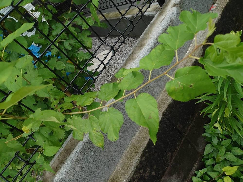 家の裏に茎が太くて大きな雑草?が生えてました。 どなたかこの植物の名前が分かる方いないでしょうか? 自分で調べて見ましたがよく分からず… よろしくお願いします。