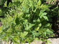 切り株から生えてきた植物です。 この植物何か分かりますでしょうか