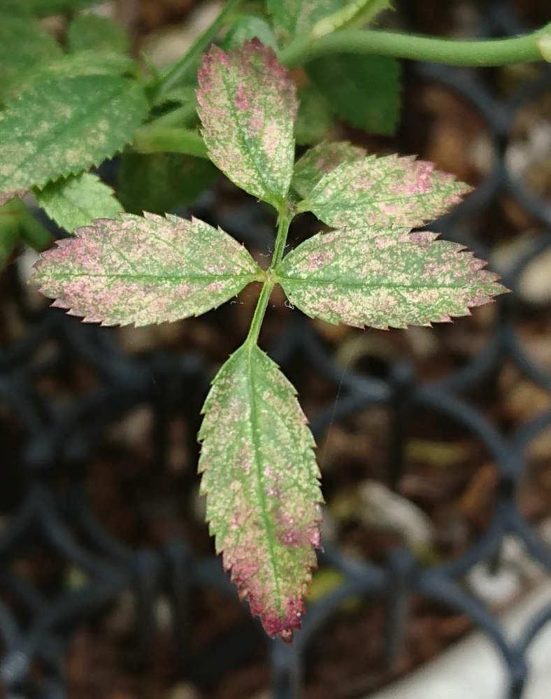 ミニバラの葉がどうもおかしいです 赤っぽくなっていてどうにも病気っぽいのですが、このように赤く変色するものが検索できませんでした。