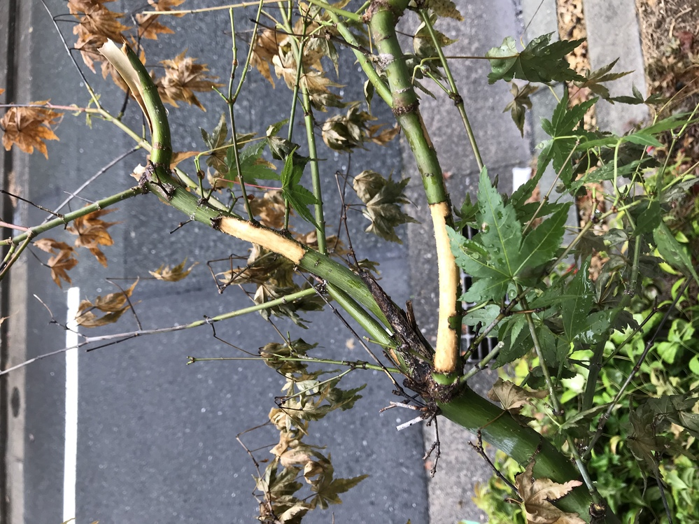 玄関先に植えてあったイロハモミジが枯れ始めました。 植えて5年は経っています。 枝がところどころ写真のように皮が剥がれていますが、何かの虫の仕業でしょうか? 何日か前にカミキリムシの成虫がすぐ近くにいました。 葉がほとんど枯れていますが、新芽が出ている枝もあります。 何をしたあげたら良いですか?