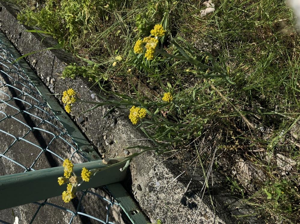 これは何の花ですか?雑草でしょうか?