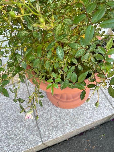 バラの葉が白っぽくなってます。 粉っぽい感じではなくて色が抜けたようなかんじです。肥料は春さきに薔薇用をまきました。 病気でしょうか?