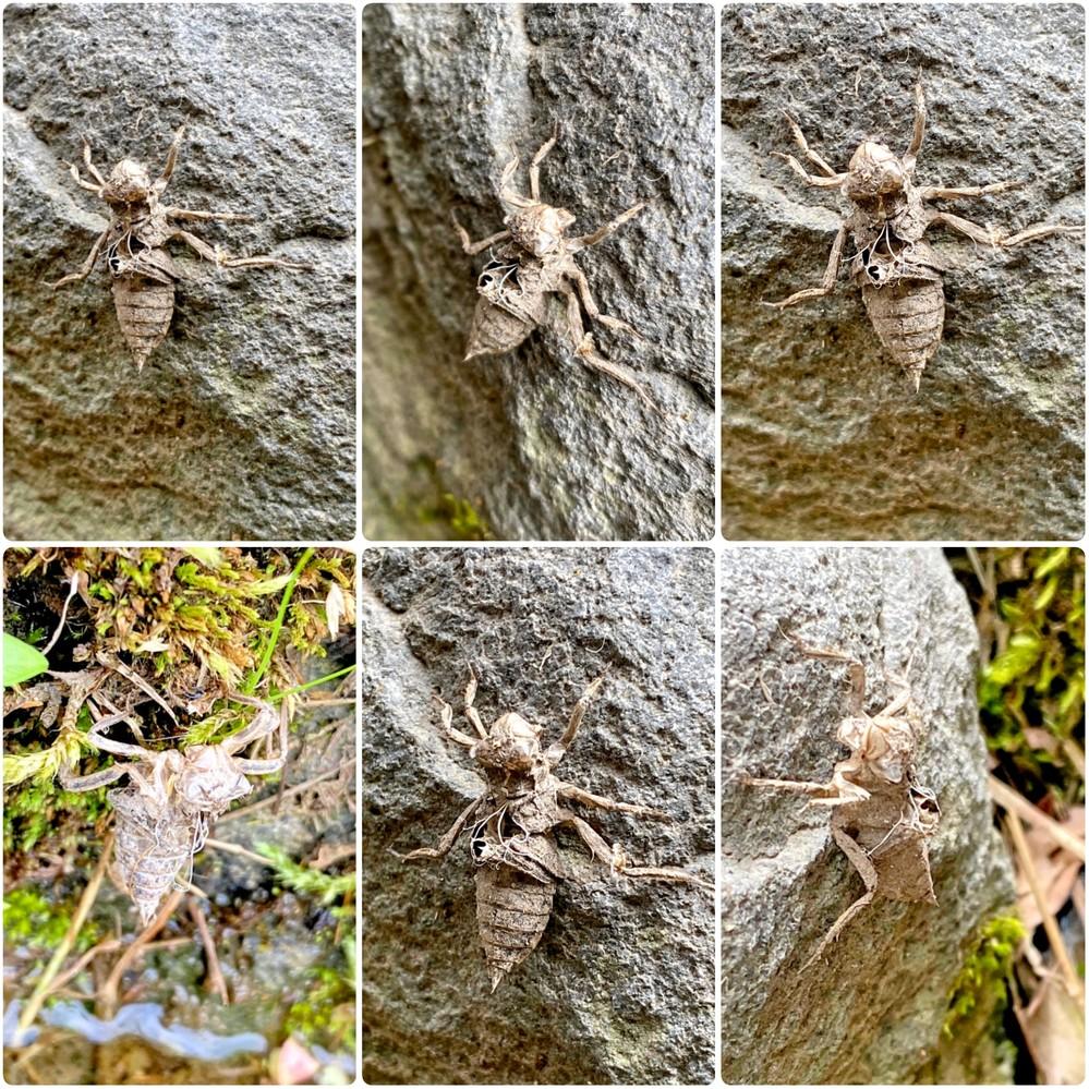 トンボの羽化後のヤゴで、トンボの種類を特定するのは難しいですか? 6月16日に発見したヤゴです。 シオカラトンボのペアが飛んでいました。
