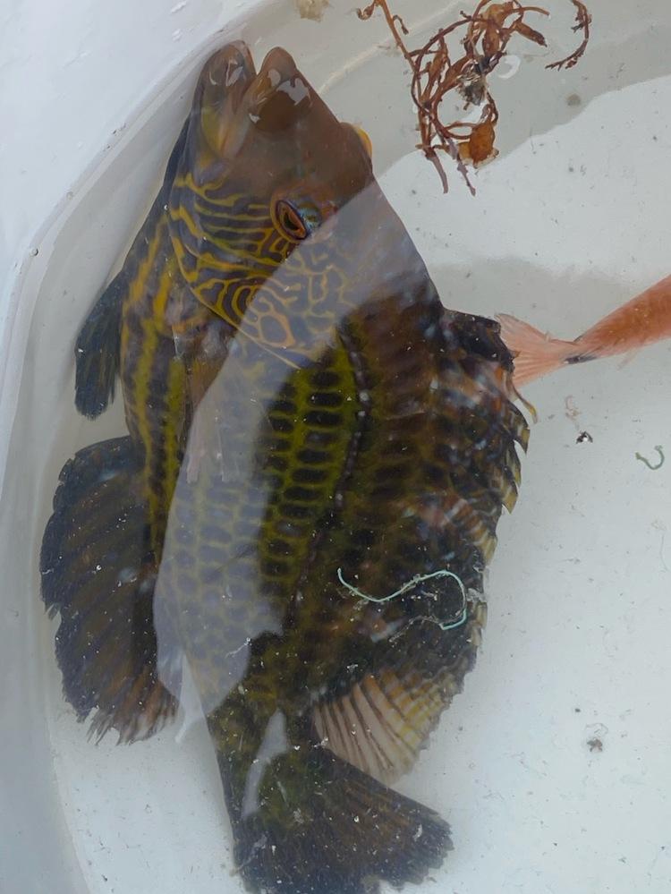 堤防で釣りをしていて釣れました。 この魚の名前はなんですか?