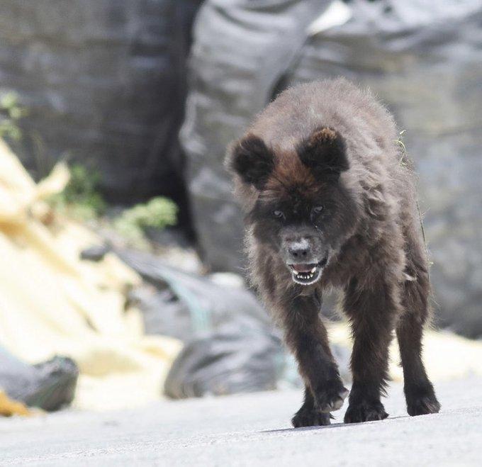 これは熊ですよね? 福島県で撮影された動物です。 ネットではUMA(未確認動物)が発見されたと話題になっていますが、 熊ですよね? どう思いますか?