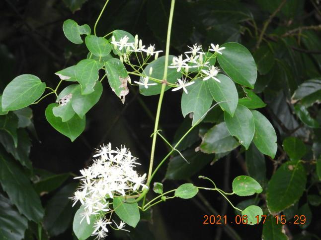 このつる植物は、センニンソウ?ヤンバルセンニンソウ?教えて下さい。