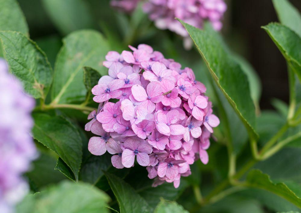 この紫陽花の正式名所は何でしょうか? 特徴としては東北にて9月の中頃まで咲いており、小~中くらいのてまり咲きで花びらが丸みをおびています。