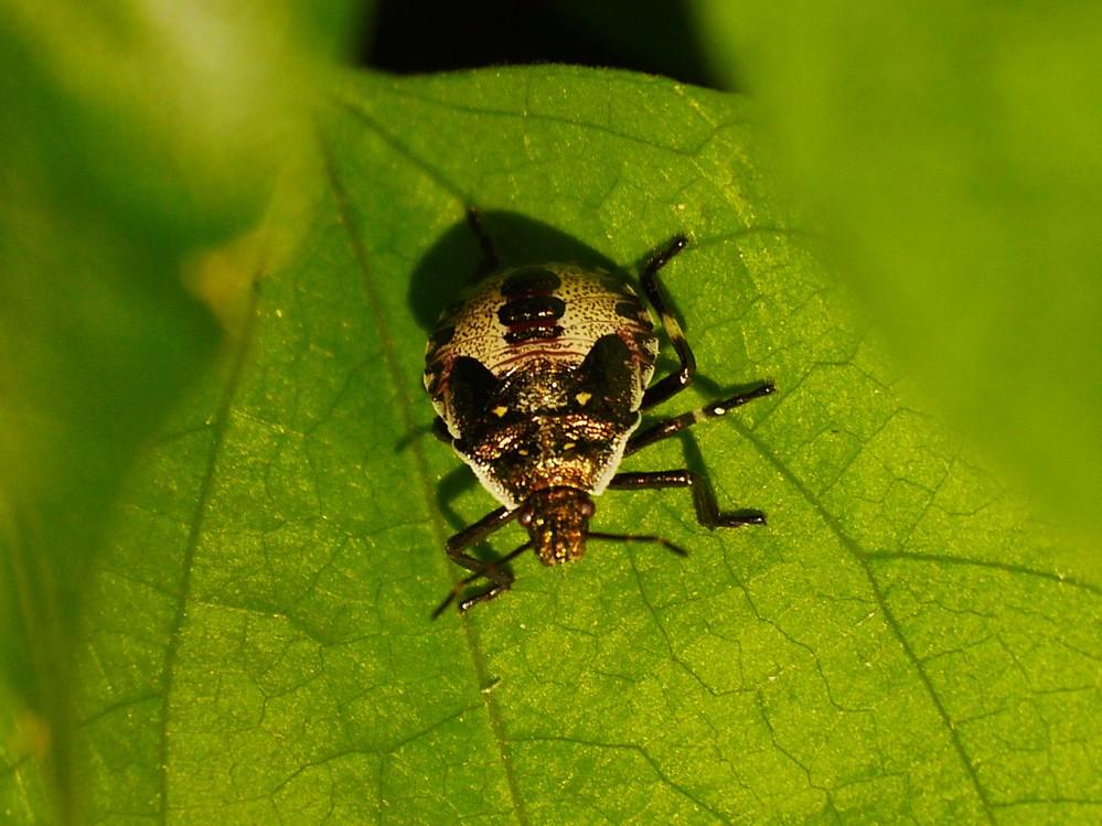 この虫の名前を教えてください。