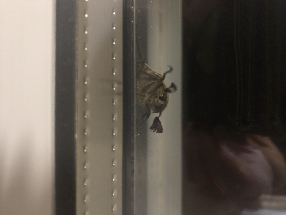 家の窓から離れないんですけど、この触覚が髪の毛みたいで可愛い虫の名前をご存知の方がいたら教えてください。 場所は神奈川県で、虫の大きさは3cm弱くらいです。 暗いので色は良く見えませんが、こげ茶色に見えます。 写真を縦にしても横にしても横で貼られてしまうので見づらくてごめんなさい。