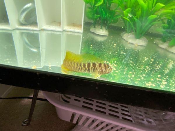 これは何という魚でしょうか?蟹籠の中に入っていたので水槽に入れてみました。
