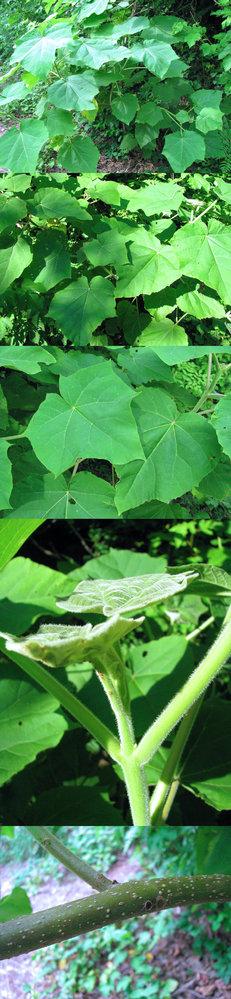 6月の標高300m~400mくらいの低山にあった植物です。 生え始めの若葉は肉厚です。 何という名前の植物でしょうか??
