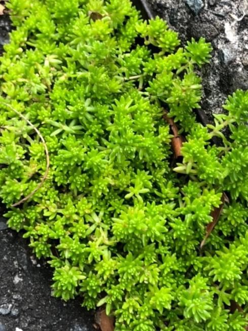 近所(神奈川)でみかけました、これは苔ですか?何という名前か教えてください。