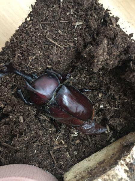 カブトムシが羽化し土からでてきたのですが、 片方の羽の下から袋みたいなものがでたままになってます。 羽化不全でしょうか?中に液体のようなものが入っていそうな感じです。 このまま育てていったらよいでしょうか? 初めての飼育です。よろしくお願いします。