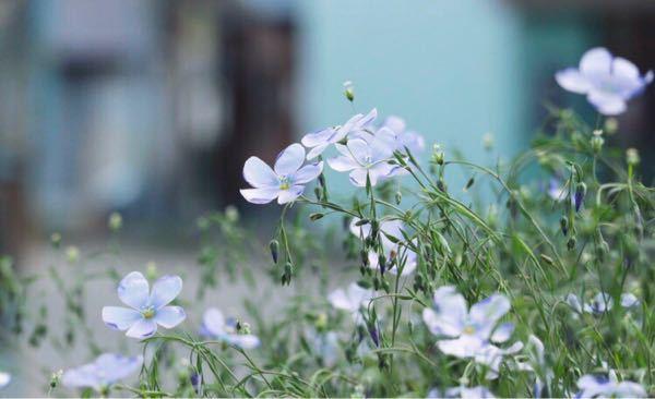 これは亜麻の花でしょうか? 画像を調べてみたところ似ているような違うような… 毎年同じ場所(歩道の花壇)に6月始め〜半ばまで咲いていて綺麗だなと思い。3cm程の花です。 来年我が家でも育ててみたいと思い質問させて頂きました。 北海道、道東です。