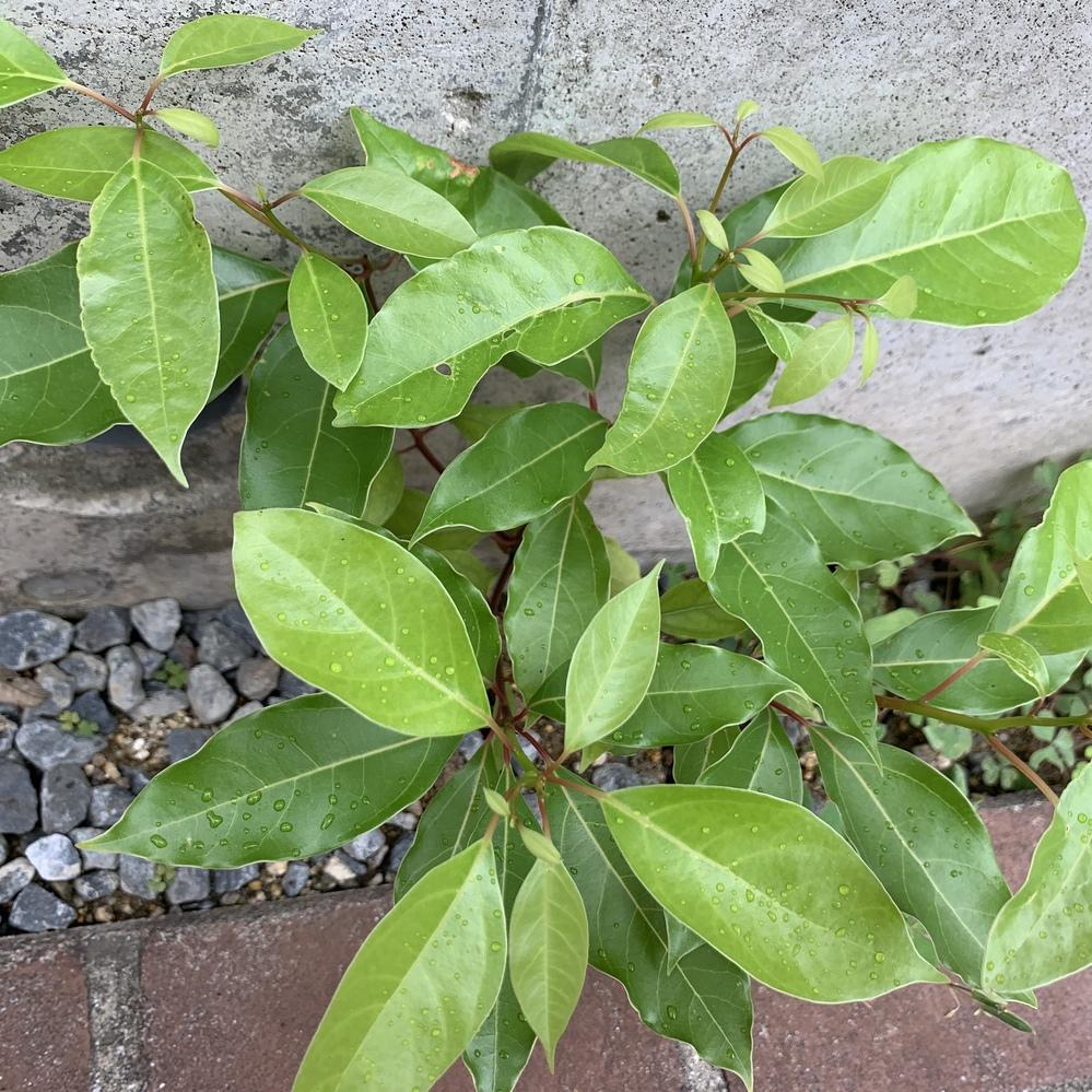 この植物は何でしょうか? 勝手に庭に生えてきています。 茎が赤く、葉っぱはつるりとして柔らかいです。 茎が太くなってきたので、ただの雑草なら抜こうと思っています。