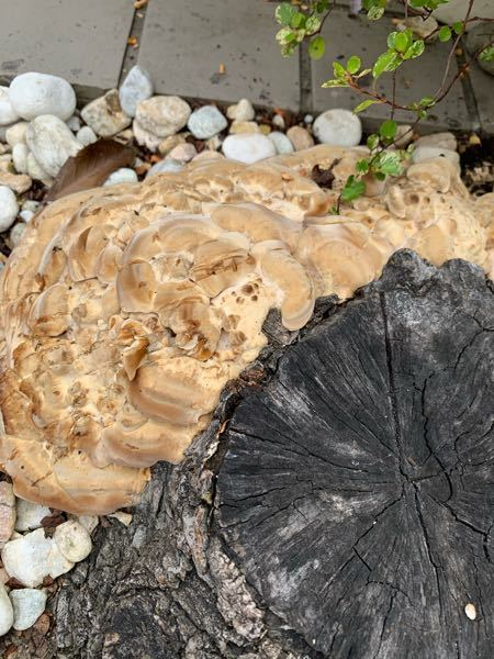 切り株からゴム臭いような樹液が取っても取ってもでてきます。 引っ越して来た時には すでに木はなかったので何の木だったかは分かりません。 出てこないようにするのは どうしたら良いでしょうか?