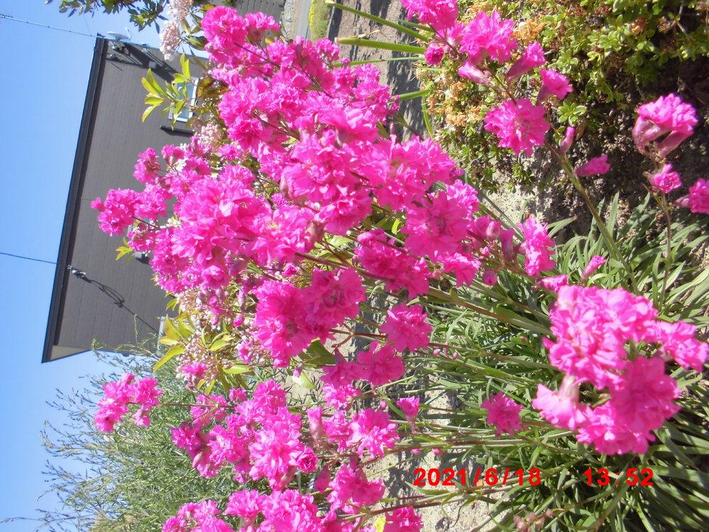 この花の名前を失念してしまいました、 ご存じの方 是非教えて下さい。