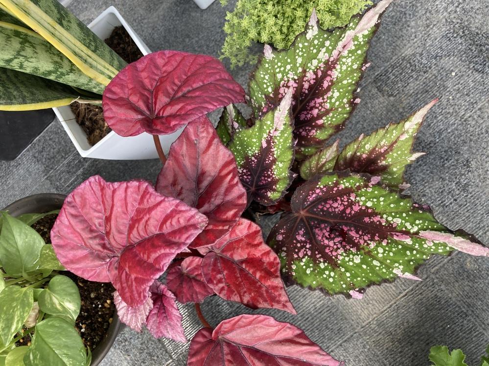 この植物の名前はなんですか? 赤色の葉の植物と、 中央が赤っぽく周りがグリーン、白い斑点、ちょっとギザギザがはいっている葉の植物です。