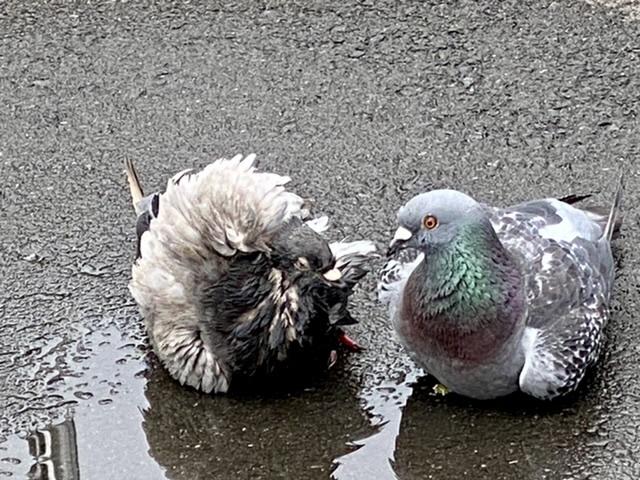 左側の鳥の名前を教えてください。 普通のどこにでもある公園にいました。 ネットで鳩の種類を見てもわかりません でした。