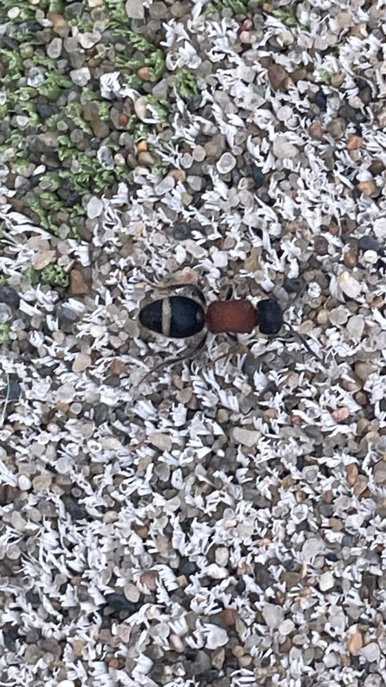 これはよくいるアリでしょうか? 初めて見たのですが、毒とかないのかと心配になりました。