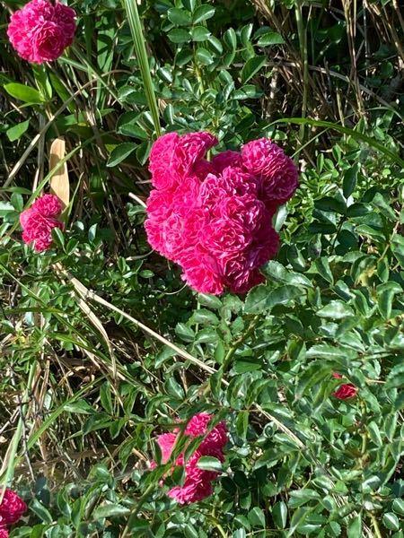 植物に詳しい方にお願い致します。 此方はつるバラでしょうか? バラの名前も教えて下さいませ。 宜しくお願い致します。