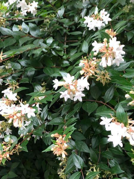 この花の木はよく見るんですが、名前を教えてくださいませ。