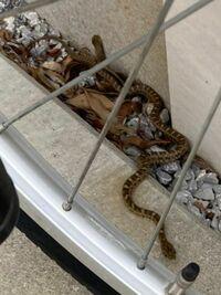 ヘビの種類を教えて下さい 今日の昼、家のまわりを掃除している時に見つけました 退治もできず、まごついている間に塀の隙間に隠れてしまいました 毒蛇じゃないか心配です
