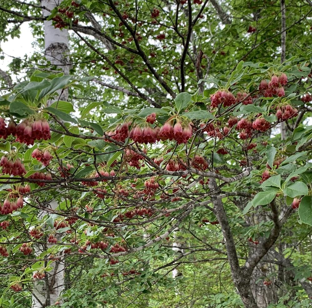 この花の名前を教えてください。 高山で木に咲いていました。