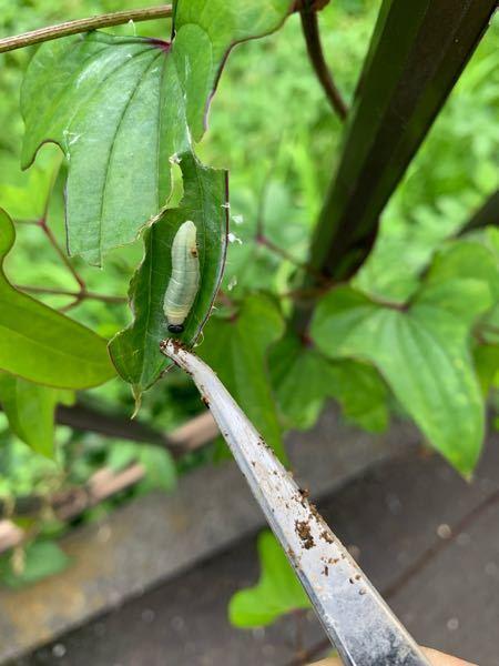 こんにちは! この虫って何の幼虫ですか? 教えてください!