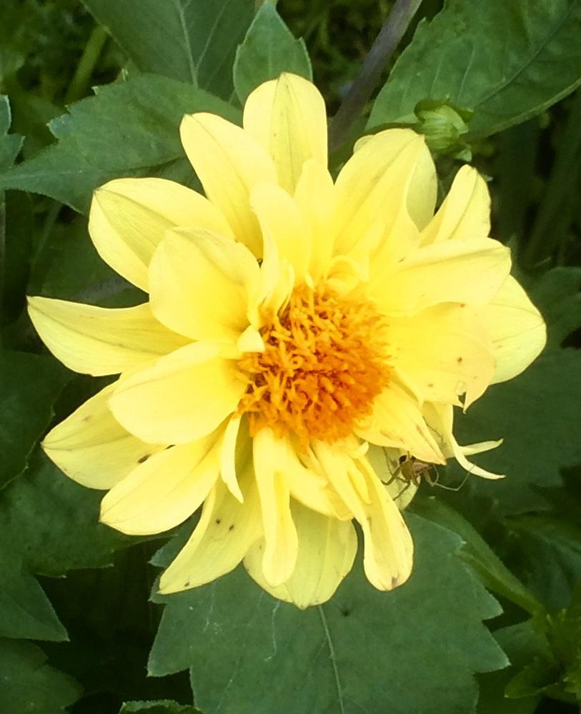 この花の名はダリアでしょうか