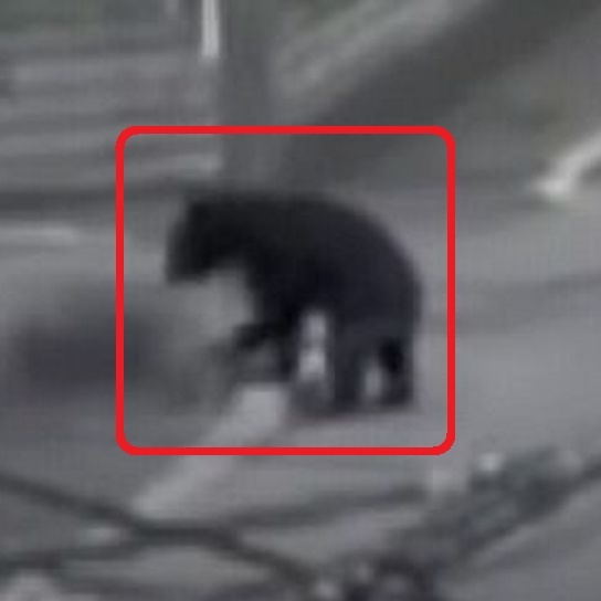 野生のクマにお詳しい方へお伺いをいたします。 ・ 札幌市内の下記動画のクマは体毛が黒色なのでツキノワグマにように感じます。 ここで質問です。 本当にツキノワグマなのでしょうか。 それとも、ヒグ...