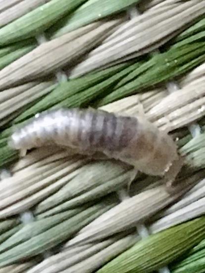 画像の虫の名前を教えてください。