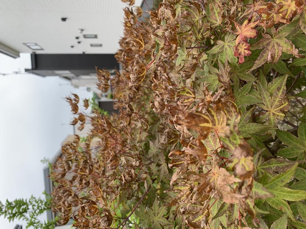 庭にある紅葉が枯れてきました。近所で除草剤散布していたのですが、原因でしょうか? それとも他の病気でしょうか??