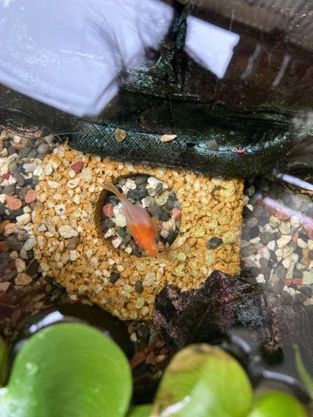 この金魚の名前何かわかる人いますか?