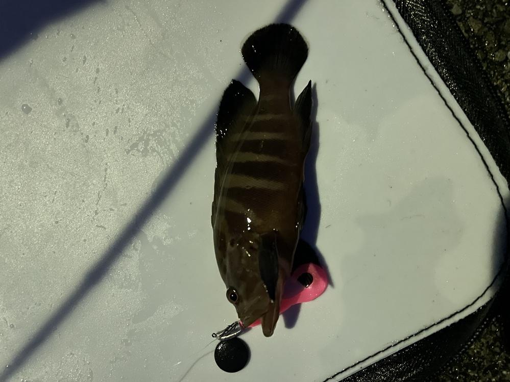 この魚はマハタの稚魚でしょうか? 何の魚かでしょうか?