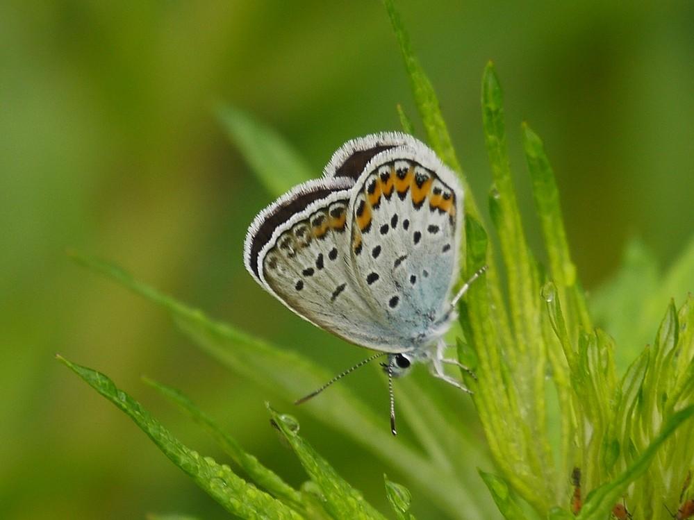 この蝶の名前を教えてください。家の近所にはオオルリシジミが生息しているのですが、この蝶は何でしょうか?よろしくお願いいたします。