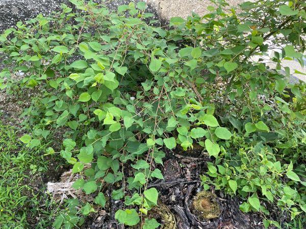 この植物は何ですか? ソテツを伐採した後に、生えてきました。 初めは雑草かなと思っていたのですが、茎が太くどんどん成長しています。 梅雨の時期もあるのですが、1ヶ月前まではまだ大きな茎が1本くらいでした。 種を巻いたりはしていないので、カラスか何かのフンに混ざった種でも成長したのかなとか考えています。 よろしくお願い致します。