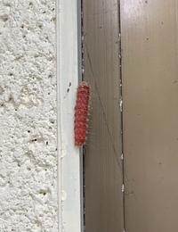 玄関にあるぶどうの木にこんな赤色の毛虫が大量発生しています。何の虫かわかる方教えてください。