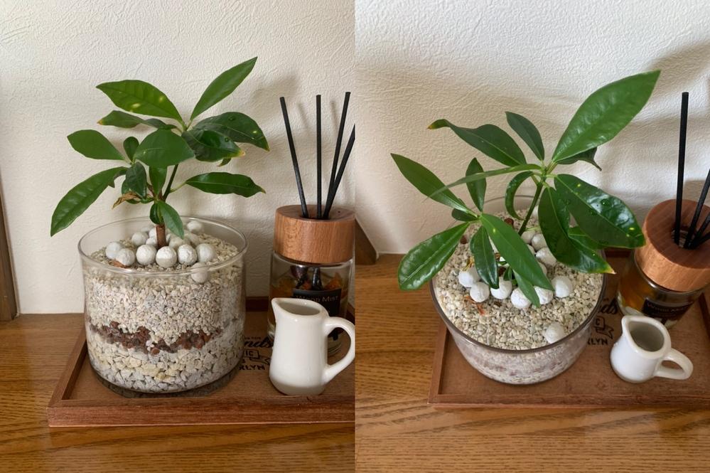 この植物の名前は何でしょうか? 以前、無印良品で購入し、植え替えをしています。 植え替え以前は四角いガラスに植えてありました。 パキラによく似ていますが、パキラではなく、 4文字のカタカナの名前だったかと記憶しています。 詳しい方、教えていただければ幸いです。 よろしくお願いいたします。