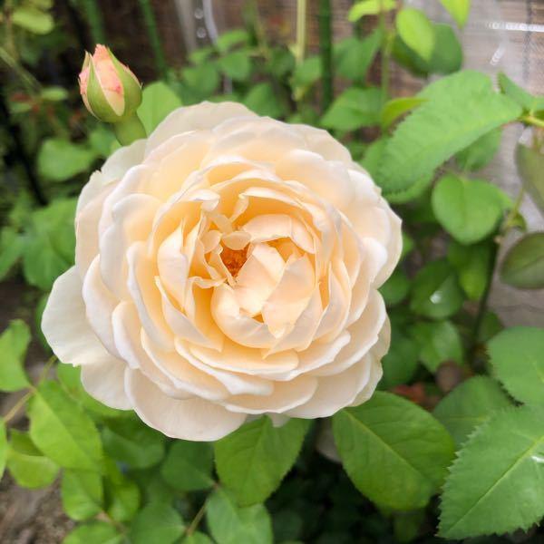 白バラを探しています。 白バラが欲しくて、選びに選んで ERの【ウィンダミア】をお迎えしたのですが、随分アイボリー、いえ、クリーム、と言った方がいいくらいで、少し残念でした。 白バラと言えば、何を選ばれますか? 【アイスバーグ】がいいかな、とは思うのですが、 他にもお勧めを教えて下さい。