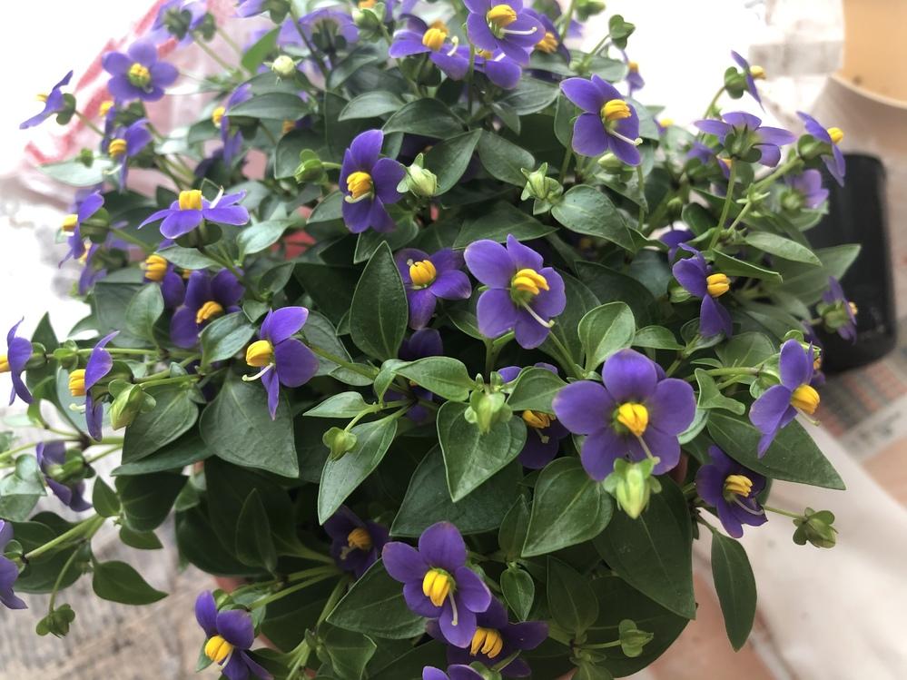 このお花の名前教えてください。 蛍のようで可愛く一目惚れして購入したのですが、名前が分からず