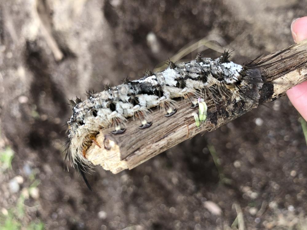 先程、この毛虫が背中につきました。 今のところ痛みとかはないのですが 何の毛虫でしょうか? また時間が経ってから痛みが出てくるようなことはあるでしょうか?