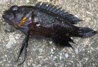 沖縄の堤防沿いで釣った体長10cm程度のこの魚。何という魚か詳しい方、教えて下さい ♂️