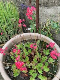 この線香花火みたいな花はなんて言う花ですか?