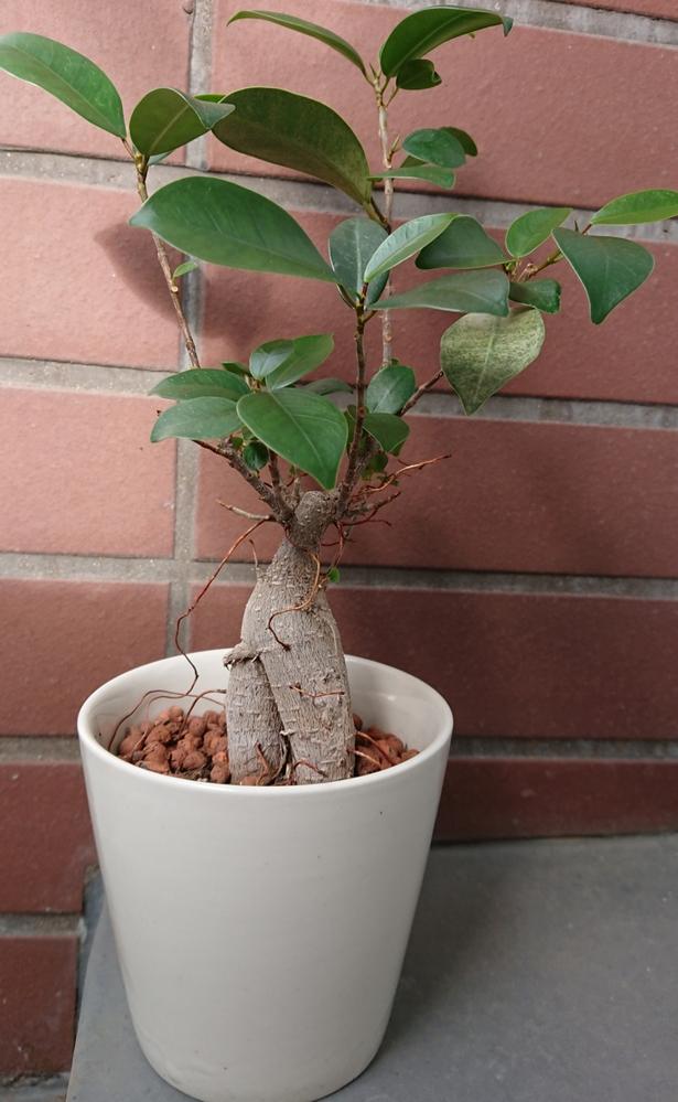 ガジュマルについてです植え替えた方がよろしいでしょうか?底から根は溢れていませんでした。大きくしたいです(^ ^) 本日液肥を初めて与えました。冬に葉を全部落とし、また復活したので今期は冬をちゃんと越させたいです…
